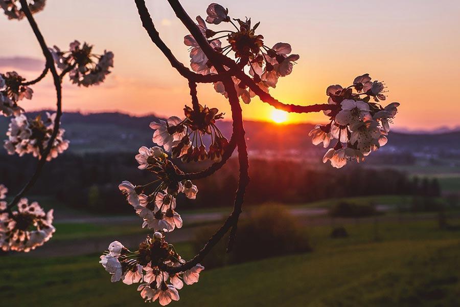 FAQ's - Cherry Blossom